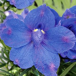 Delphinium Blue Butterfly   - Delphinium grandiflorum -  lg pot